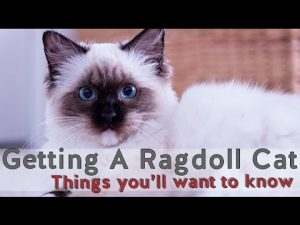 Owning a Ragdoll Cat || Things to know