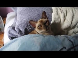 Porsche the Burmese Cat!