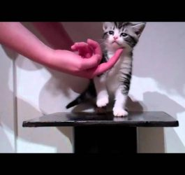 Available American Shorthair Kittens