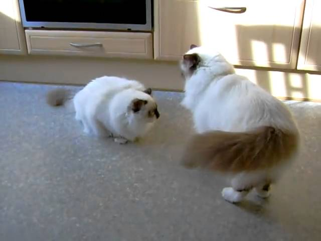 playing birman cats