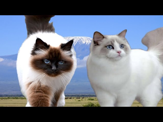 Birman vs Ragdoll Cat - Difference Explained