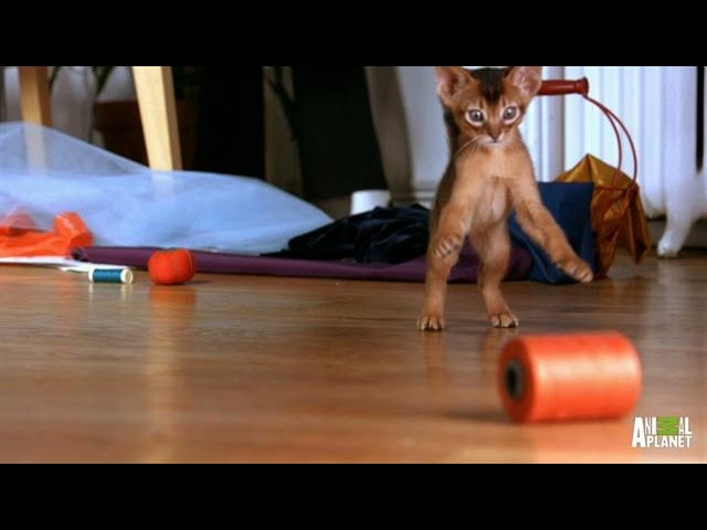 Abyssinian Remy Steals the Spotlight   Too Cute!