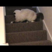 Birman Cats playing
