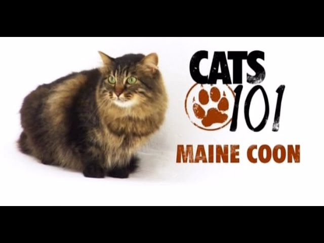 CATS 101 - Maine Coon [ENG]