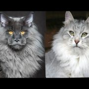 Maine Coon vs Siberian Cat - Difference Explained