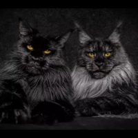 Mythical Beasts – A photographer captures stunning portraits of Maine Coon