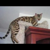 My Bengal Cat Is Broken