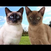 Siamese Cat VS Burmese Cat  - 101