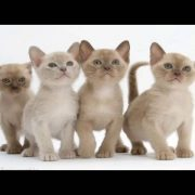 Top 10 Reasons to Choose a Burmese Cat as Your Pet