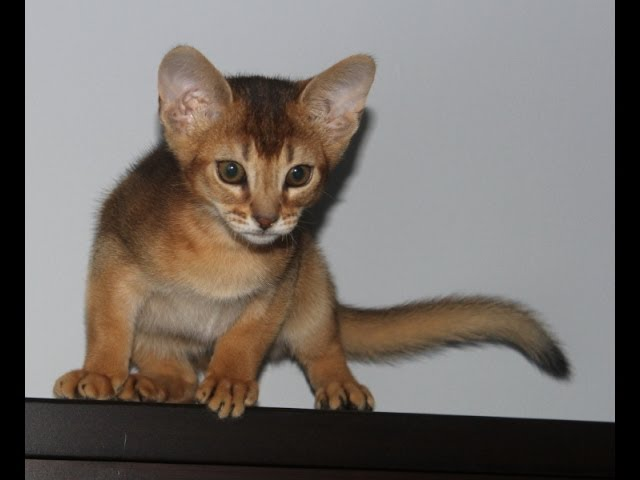 Simba the Abyssinian Cat