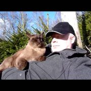 Burmese cat in Norwegian Forest