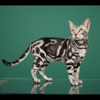 Top 21 Most Exotic Domesticated Cats On Our Planet