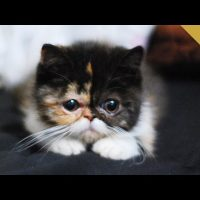 Exotic Shorthair Kitten Compilation