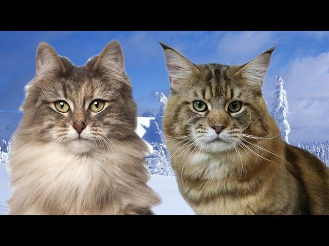 Norwegian Forest Cat vs Maine Coon  - 101