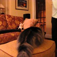 This Norwegian Forest Cat  Shows Off Her Tricks!