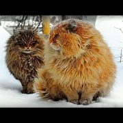 Siberian farm cats Not a Norwegian Forest Cats Pooh and Tyoma, История фотки Пух и Тёма