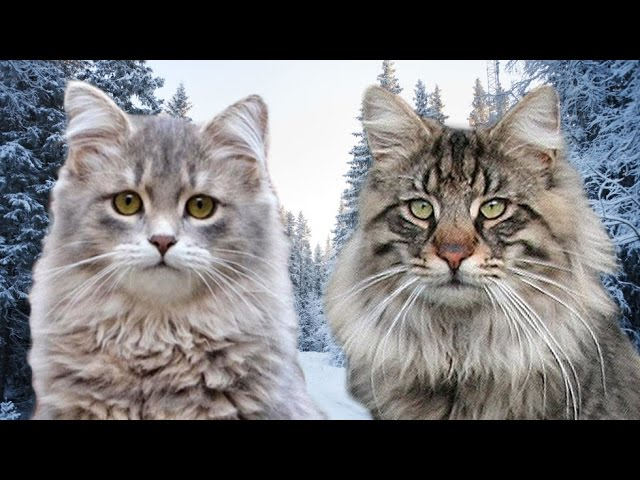 Siberian Cat vs Norwegian Forest Cat - 101