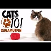 CATS 101 - Ragamuffin [ENG]