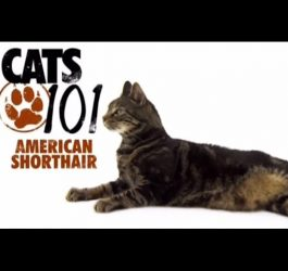 CATS 101 - American Shorthair [ENG]