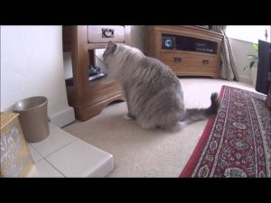 Huge Cat vs Lasers - Starring Blueberry the Ragamuffin