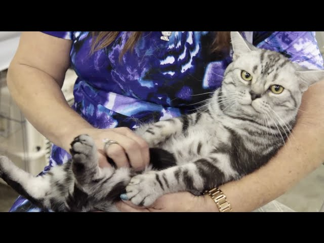Cat Breed Spotlight: American Shorthair