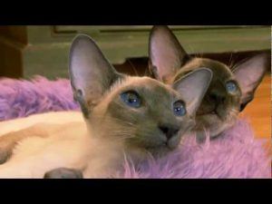 Cats 101    Animal Planet - Siamese ** High Quality **