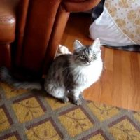 Siberian cat - Neiko 5 months old - tricks