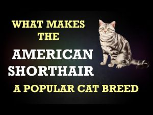 What Makes the American Shorthair A Popular Cat Breed