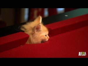Siberian Calvin Is Up for a Game of Pool with Dad | Too Cute!