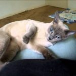 Smee the Tonkinese Cat's First Day Home