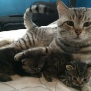 American Shorthair Kittens Playing with Father by HourPhilippines