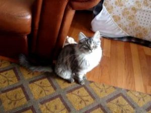 Siberian cat – Neiko 5 months old – tricks
