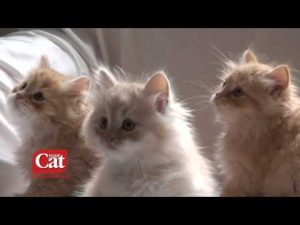 The Siberian Cat Breed, from www