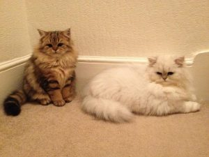 Train your Persian Cats to go outside