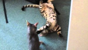 Bengal and Abyssinian cat wrestling