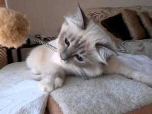 Birman Cat (Blue Tabby Point)