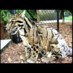 Gallery of Wild and Exotic Cats and their Hybrids
