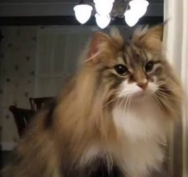 This Norwegian Forest Cat Shows Off Even More Tricks!