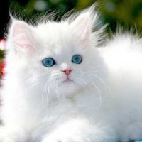 5 facts on Persian cats