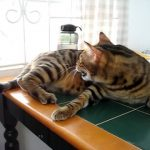 Bengal cat chattering at bird