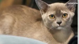 ^ⱷᴥⱷ^ Burmese Cat Personality and Breed Traits