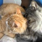 Cute Norwegian Forest Cats Cleaning Each Other