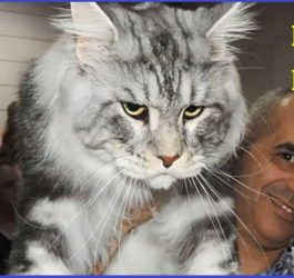 Maine Coon Cats That Will Make Your Cat Look Tiny | Funny cat photo 2016