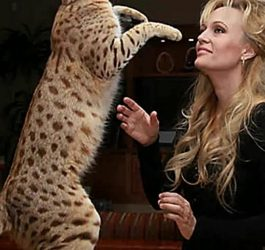 WOW!!! Bengal Cats Size And Weight