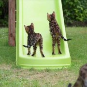 Bengal kittens on slide
