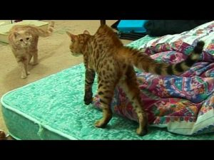Bengal Kitten Introduction to adult cats - Part 1