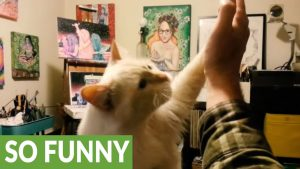 Here's Richard The Ragdoll Cat Giving High Fives!