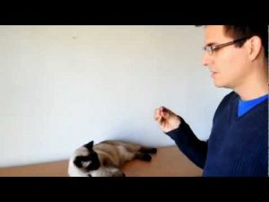 How to train your Cat… (with Faraon the Siamese) 猫にトリック教えるのはどうやるの?