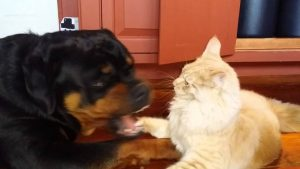 Maine coon cat fights rottweiler