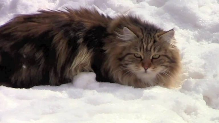 Siberian cats on the snow